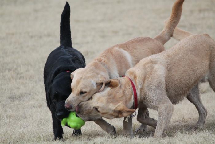 labrador-retriever-akc-razas-perros