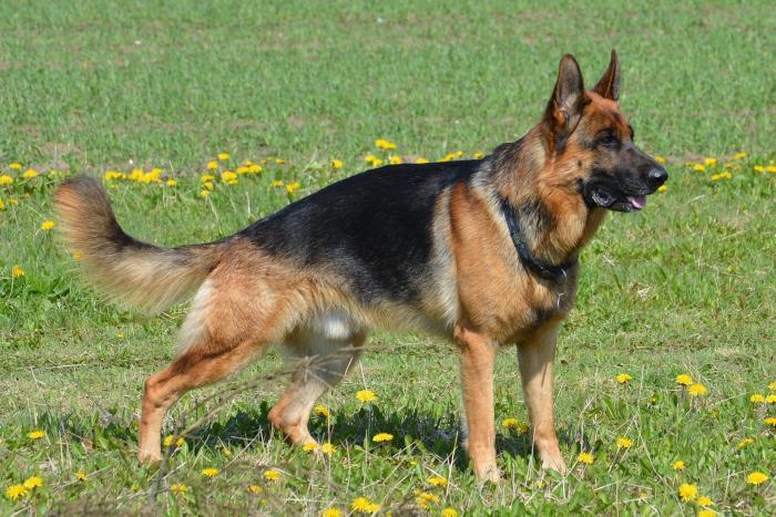 pastor-aleman-akc-razas-perros