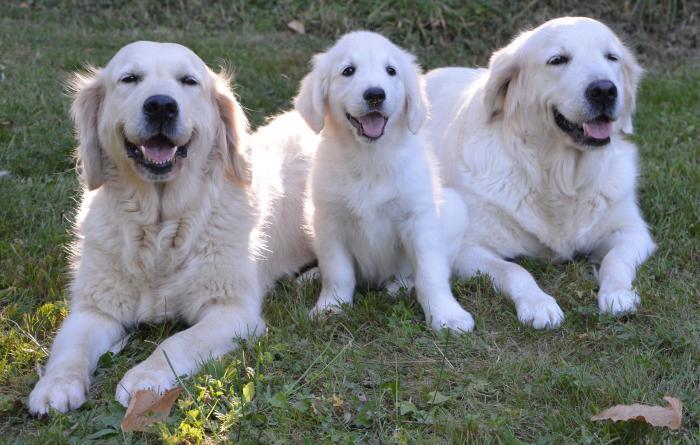 golden-retriever-akc-razas-perros