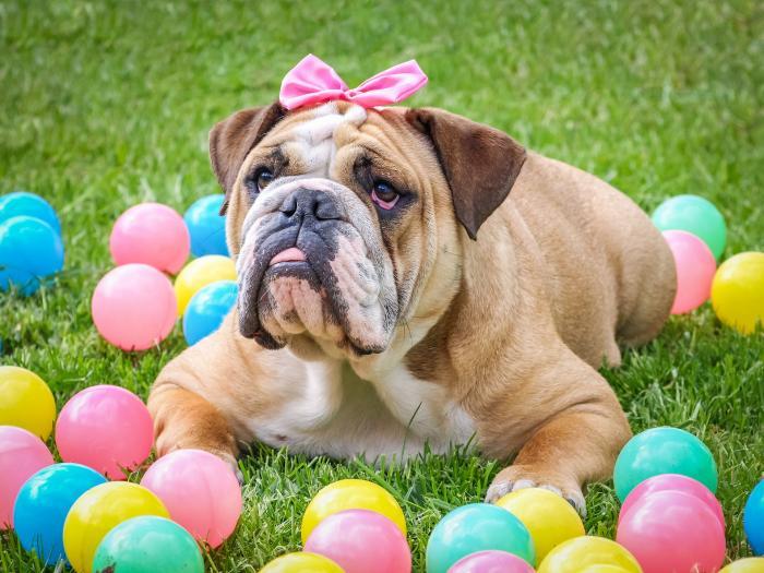 bulldog-akc-perros-razas