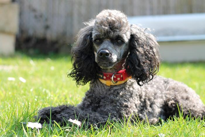 poodle-perros-razas-favoritas-populares-akc