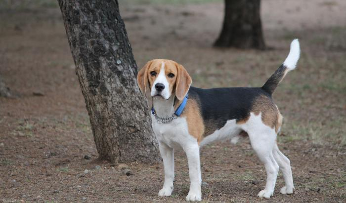 beagle-razas-favoritas-perros-populares-akc