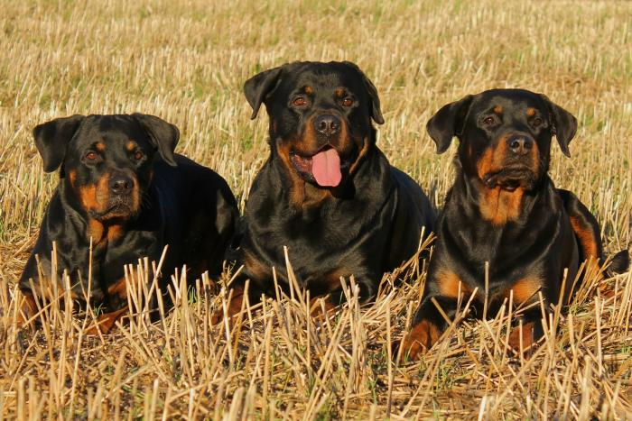 rottweiler-perros-favoritos-razas-populares-akc