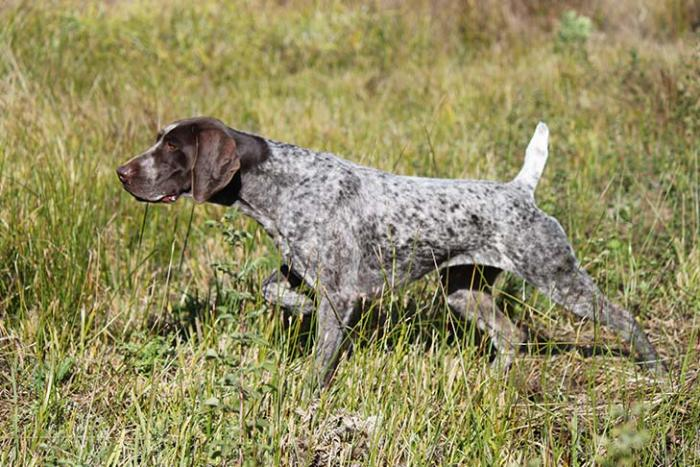 pointer-razas-perros-populares-favoritas-akc