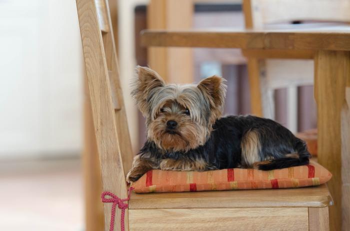 yorkshire-perros-populares-razas-famosas-akc