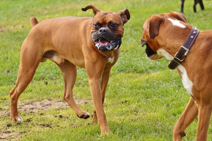 boxer-perros-razas-populares-favoritas-akc