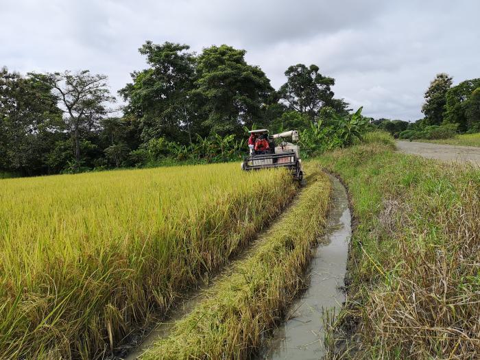 Cosecha de arroz en Jujan