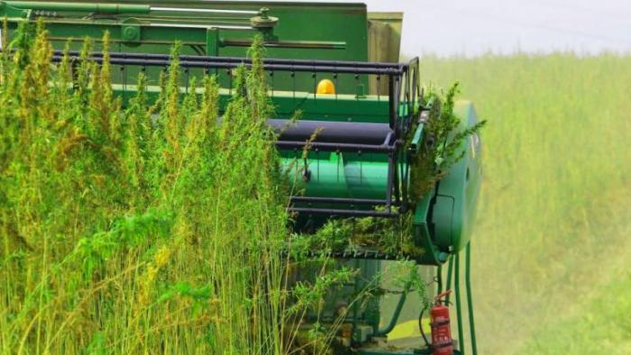 Según los expertos, el cáñamo podría reemplazar al petróleo y ser un dinamizador de economía circular