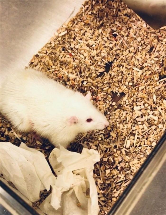 ratas-higados-experimentos-humanos-pittsburgh