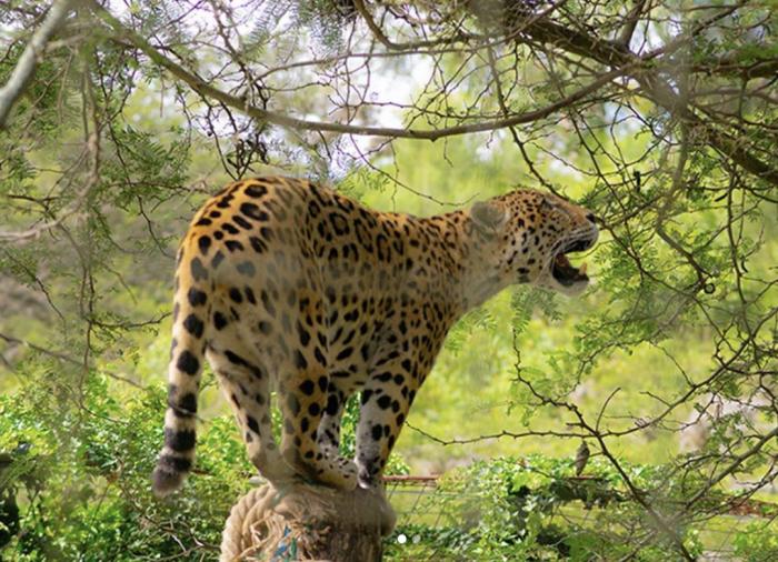 quito-zoologico-jaguar