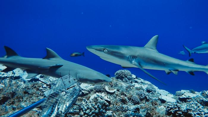 tiburones-arrecife-animales