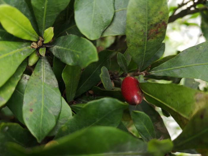 fruto milagroso