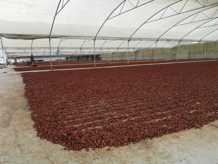 Fermentaciòn del cacao