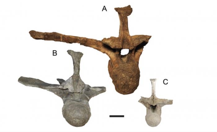 deinosuchus-vertebras