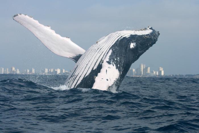 Ballena jorobada_Investigación científica sobre ballenas_Fernando Félix