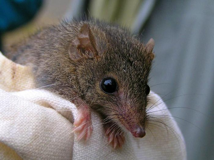 antechinus_macho