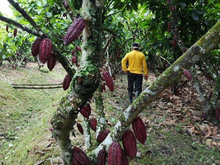 Cacao CCN-51