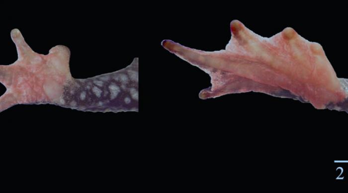 Atelopus-rana-nueva-ciencia-perú