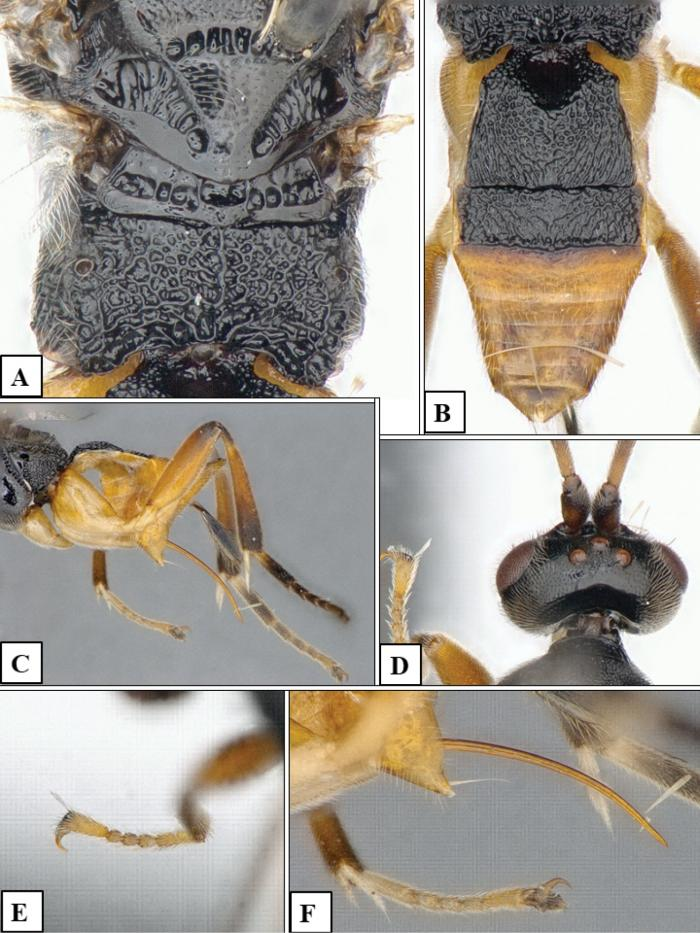 avispa-parasitoide-godzilla-acuatica