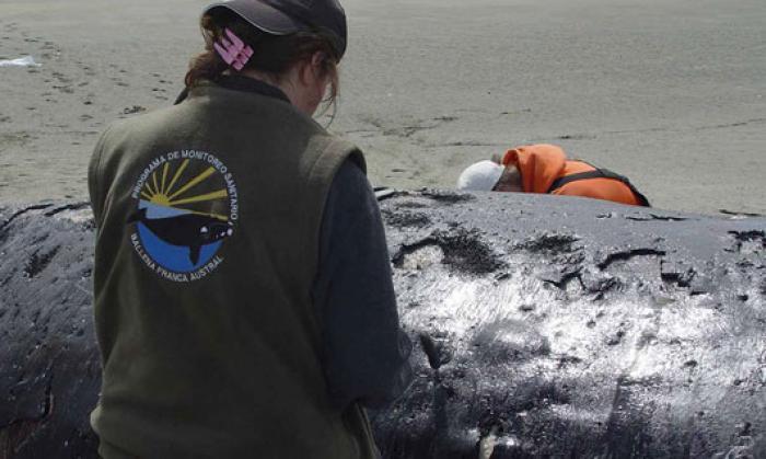 Investigadores realizando la necropsia. Foto Instituto de Conservación de Ballenas
