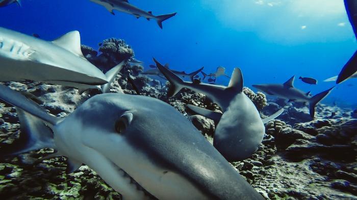 tiburones-arrecife-extincion-estudio-investigacion-cientifica