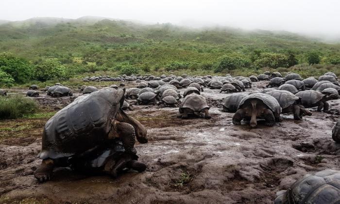 La población de tortugas gigantes en el volcán Alcedo, de la isla Isabela, es la más grande de todas.