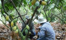 CACAO-ECUAtoriano-ecuador-chocolate