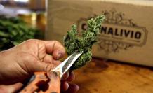cannabis auge malogrado
