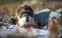 roedor momificado