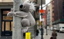 Koalas-of-NYC