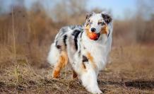 pastor-australiano-razas-perros-populares-favoritos-akc
