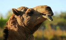 coronavirus-camello-dromedario