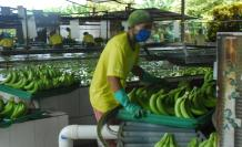 Banano producción durante el Covid-19
