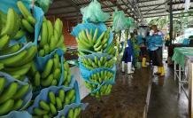 Banano empacadora 3