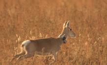 gacela-animales-mongolia