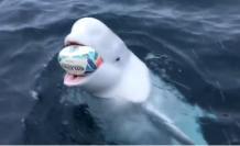 El cetáceo atrapaba la pelota y se la devolvía a un grupo de aficionados que se transportaban en un bote.