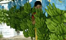 El  fusarium raza 4  es un hongo que afecta las plantaciones de banano.