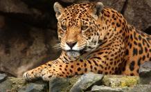 El equipamiento servirá para calcular el tamaño del hábitat de los especímenes marcados, que pueden ser tapires amazónicos, jaguares, puma, oso de anteojos, entre otros grandes mamíferos.