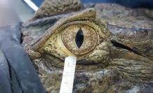 cocodrilo lagrimas
