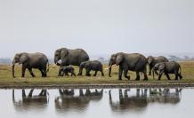 elefantes-enfermedad-virus-manada
