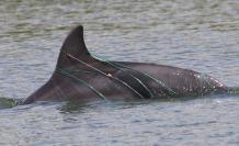 Delfines_Investigación_El Morro 2017-