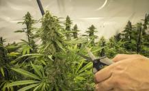 Cultivo-Cannabis-Ecuador