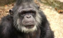 chimpance-viejo-social