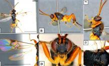 godzilla-avispa-asesina-japon-parasitaria