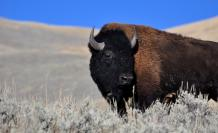 bisonte-bison-clima-calentamiento-bacterias