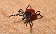 garrapata-foto-sangre-pulgas