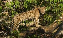 Fotografía cedida por WWF que muestra un jaguar (Panthera onca) en la región de Pantanal (Brasil).
