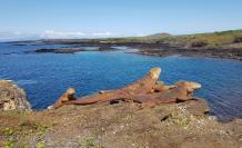 Fotografía que muestra la reinserción de 461 iguanas terrestres, en la isla Santiago, Galápagos.
