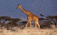 Con su excepcional anatomía y sus adaptaciones evolutivas, la jirafa es un caso excepcional de evolución y fisiología animal.