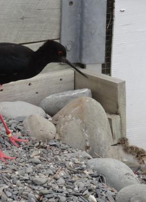 zanco-negro-animales-ave